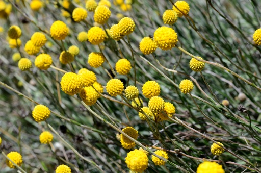 Pycnosaurus chrysanthes_Golden Billy Buttons.jpg