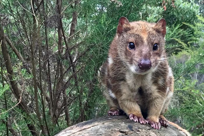 Spot-Tailed Quoll.jpg