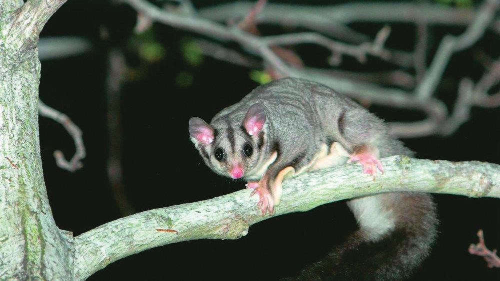 Squirrel Glider_definite LoRes.jpg