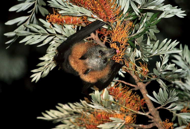 Grey-headed Floying Fox Silky Oak flowers Photo - Vivien Jones.jpg