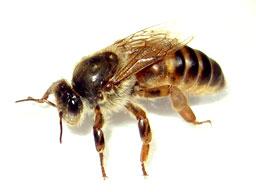 Queen-Honeybee.jpg