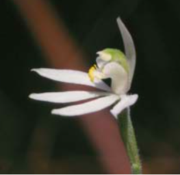 Critically Endangered orchid - Botanists are especially concerned for the critically endangered white orchid known as forest fingers (Caladenia sylvicola). Recently discovered, and known from only two stands, Tip Top is potential habitat. The hill is also habitat for another rare orchid and a critically endangered native grass.