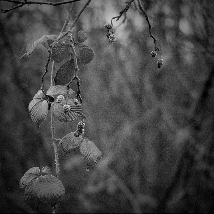 Frozen berries. Shot to #film on my 1938 #Leica. #believeinfilm