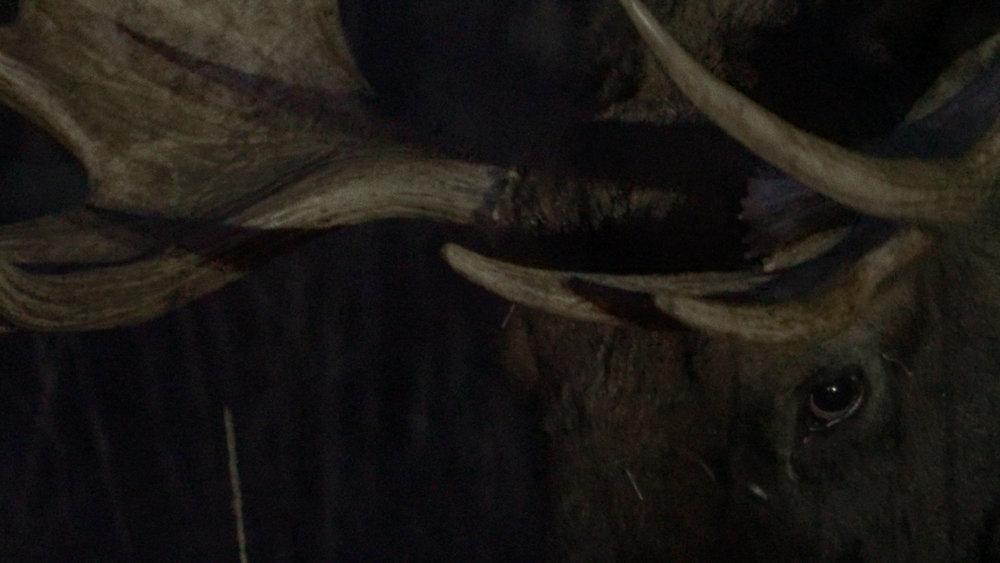 BA_Moose Antlars Night.jpg