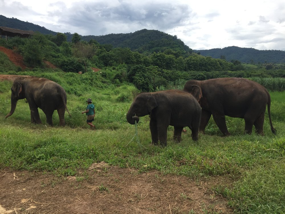 Elephants at Happy Elephant Home enjoying the green vegetation.JPG