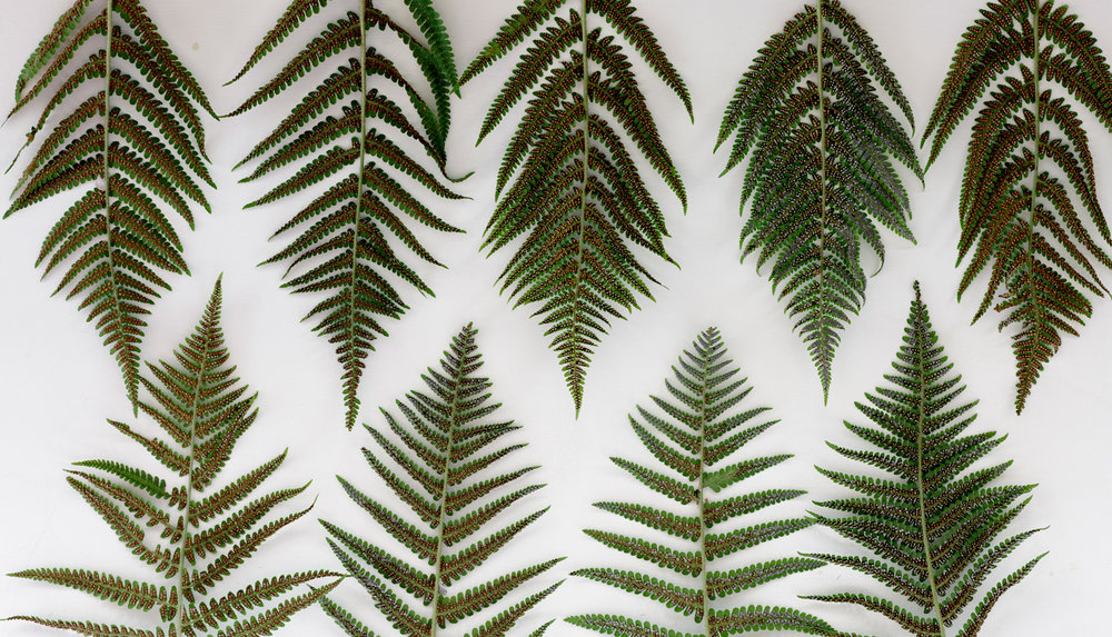 FERNS, wallpaper