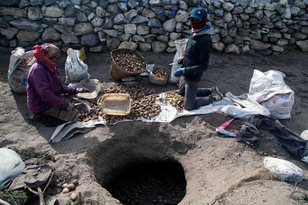 Harvesting Potatos