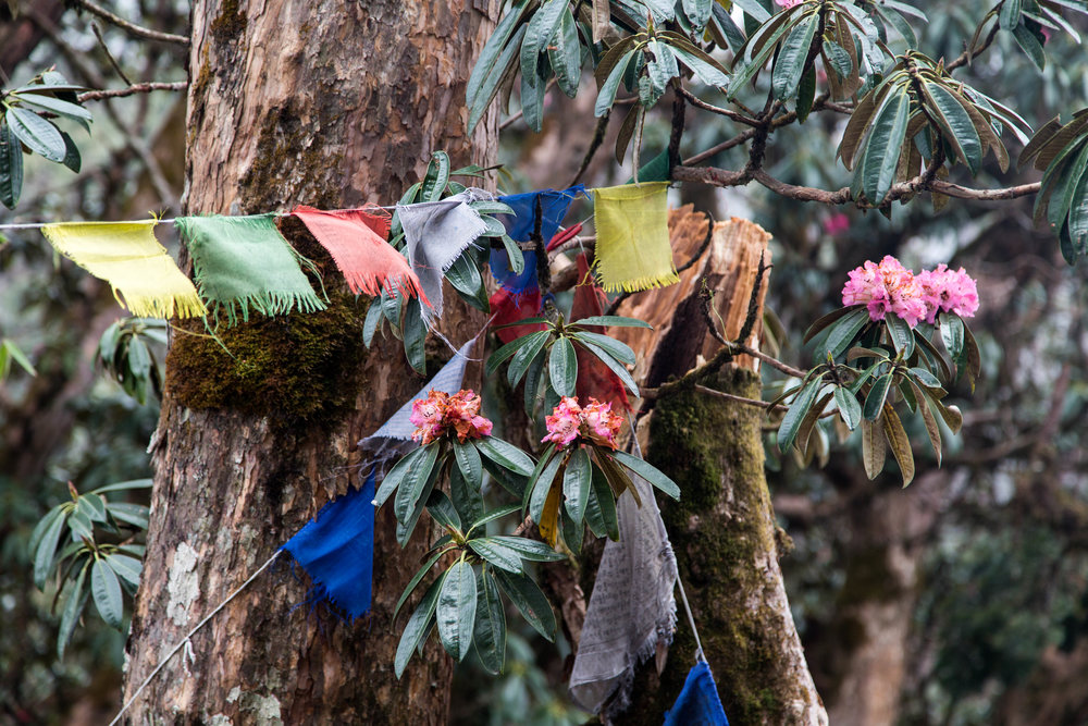 Rhododendron surrounded by prayer flags
