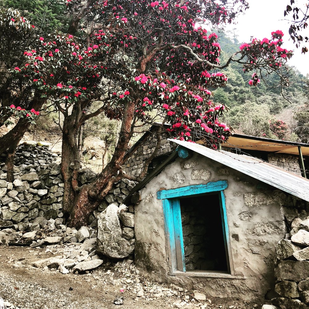 Blooming Rhododendron in Annapurna