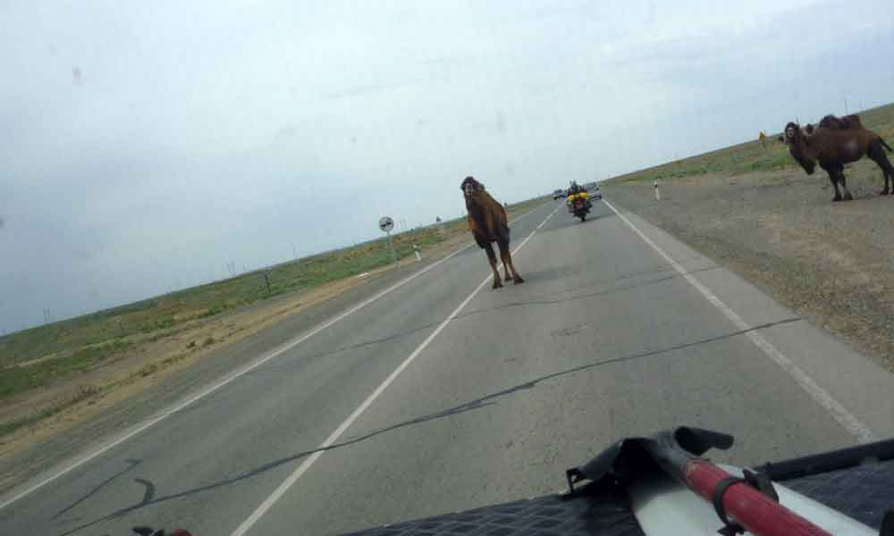 P1010288-even-the-camels-tr.jpg