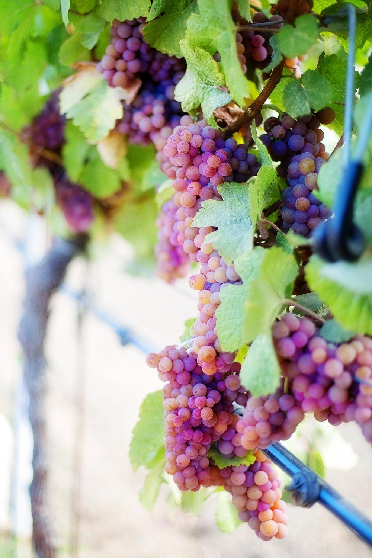 wine-grapes-553490_1920.jpg