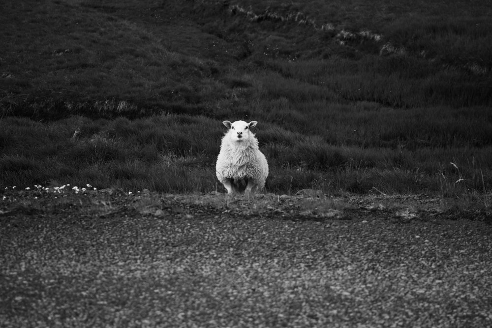 Iceland Sheep 2016.jpg