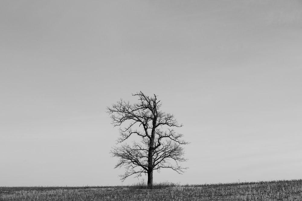 Iowa Tree 2013.jpg