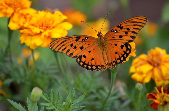 gulf-fritillary-butterfly-1839556_640.jpg