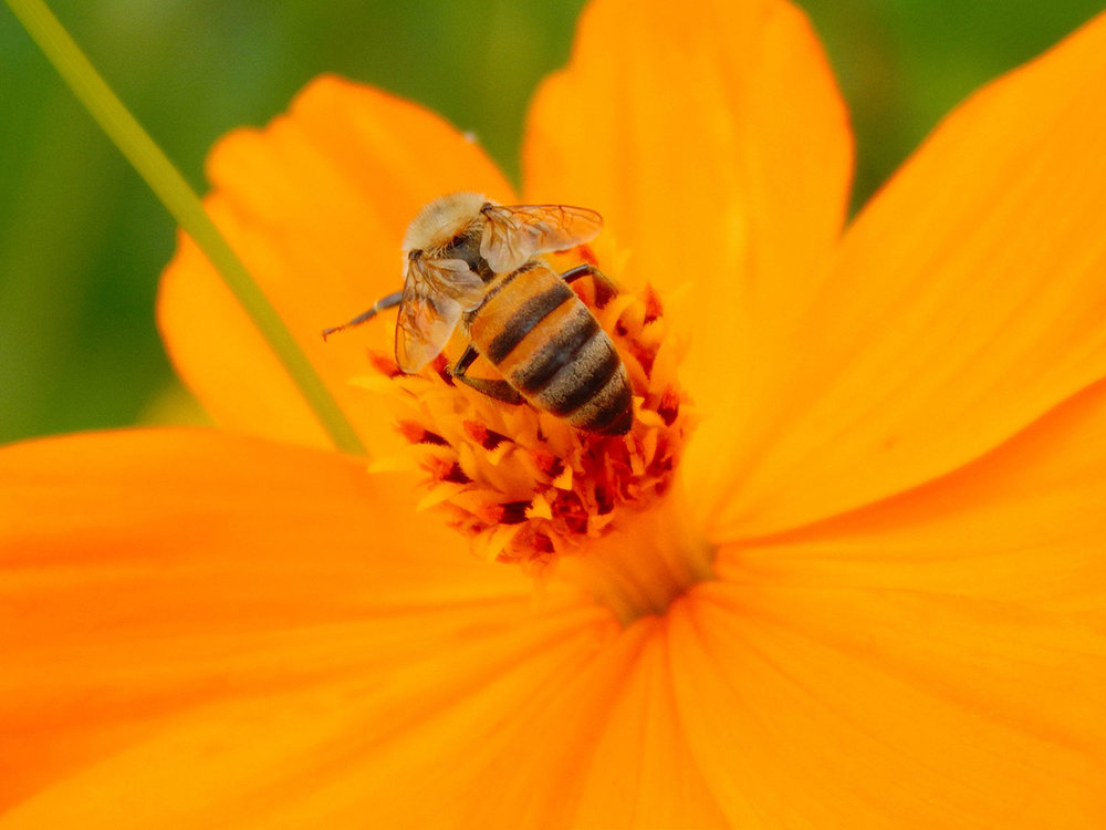 Abeja ( Apis mellifera ) polinizando flores de Cambray ( Cosmos sulphureus ).