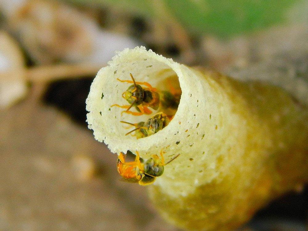 Piquera de colmena de Mariola ( Tetragonisca angustula )