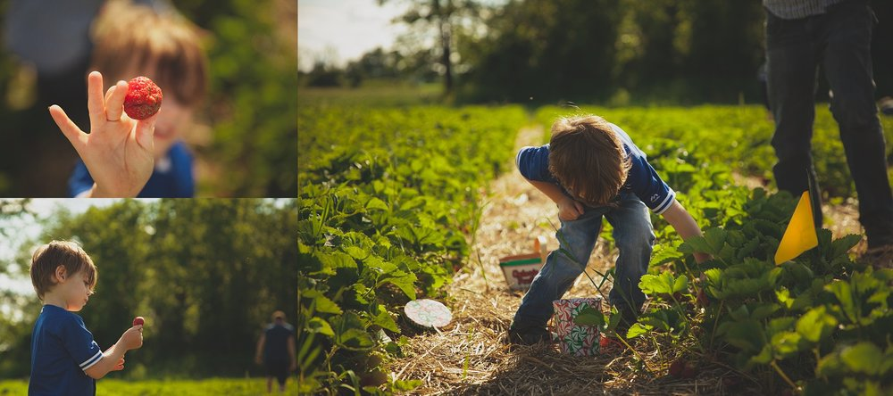Photograph of a boy picking Ontario Strawberries at Thames Valley Melons in Innerkip Ontario.