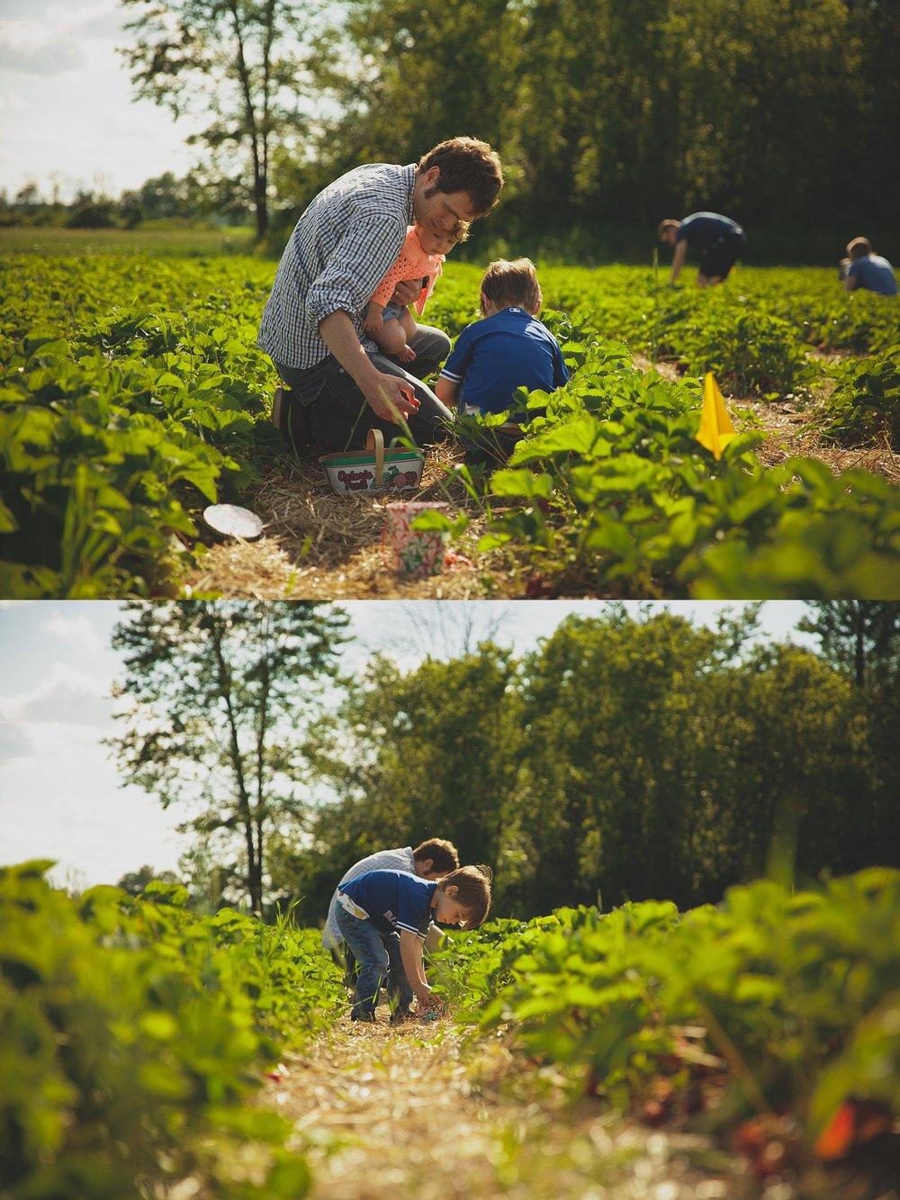 Photograph of family harvesting fresh strawberries.