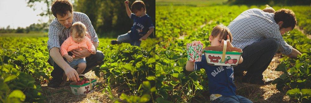 Strawberry picking near Woodstock, Ontario.