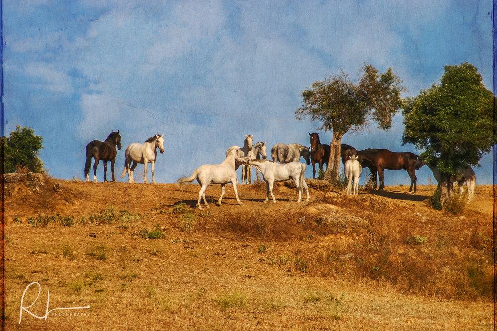 Wild Horses in Ronda