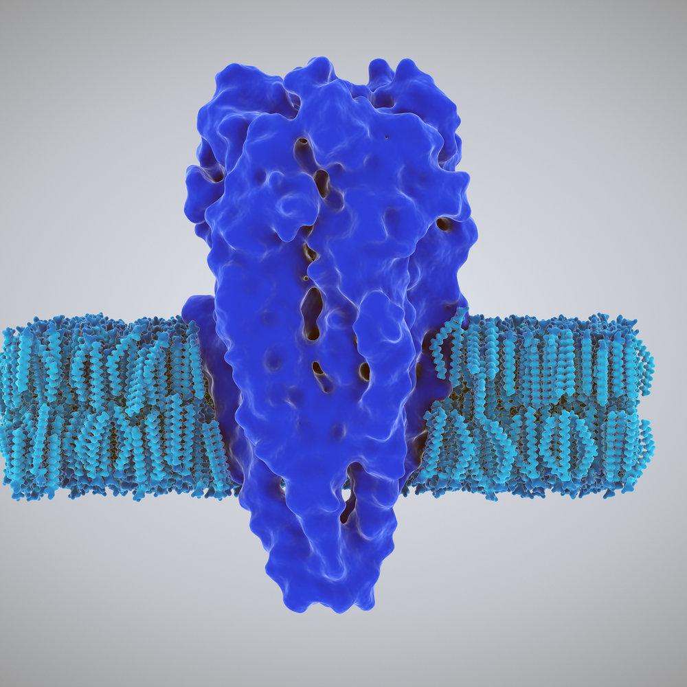 Calcium Channel Antibody -