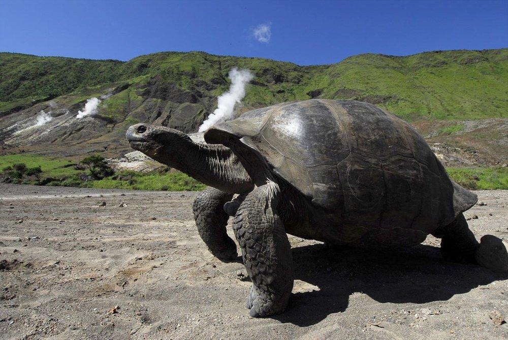 galapagos_giant_tortoise-alcedo_volcano.jpg