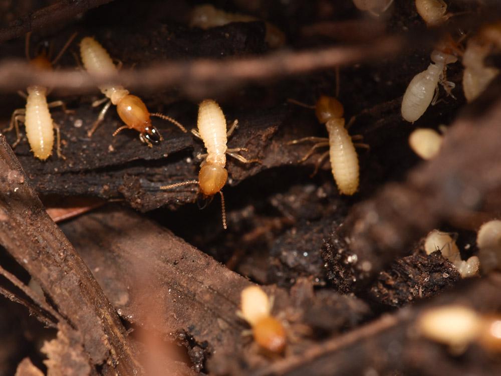 Formosan Termites