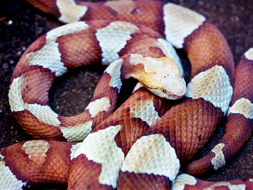 HPC-pest-guide-copperhead-snake.jpg