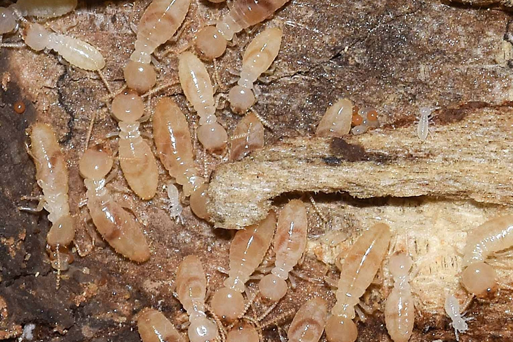 Termites:  What are they? -