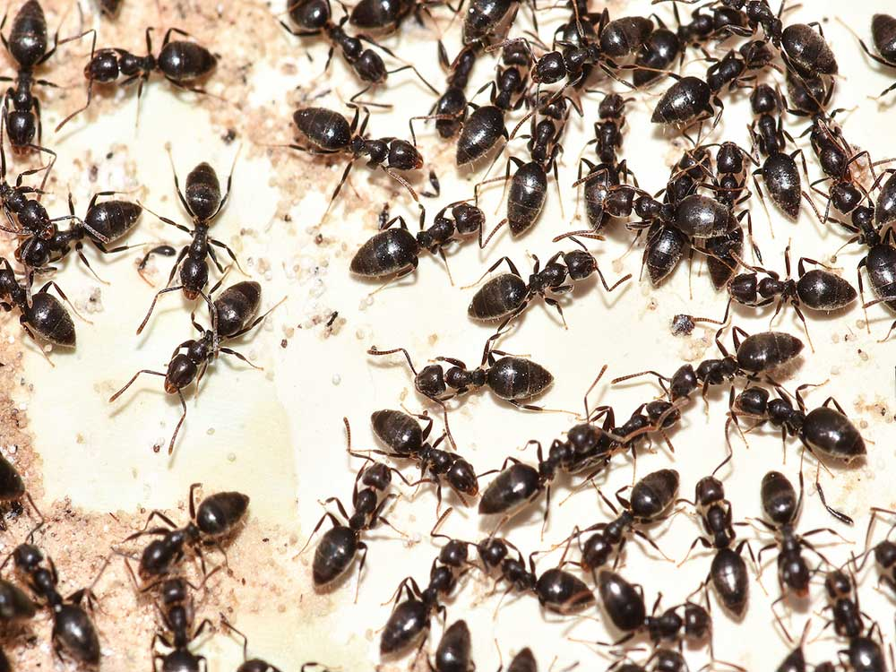 White-footed Ants