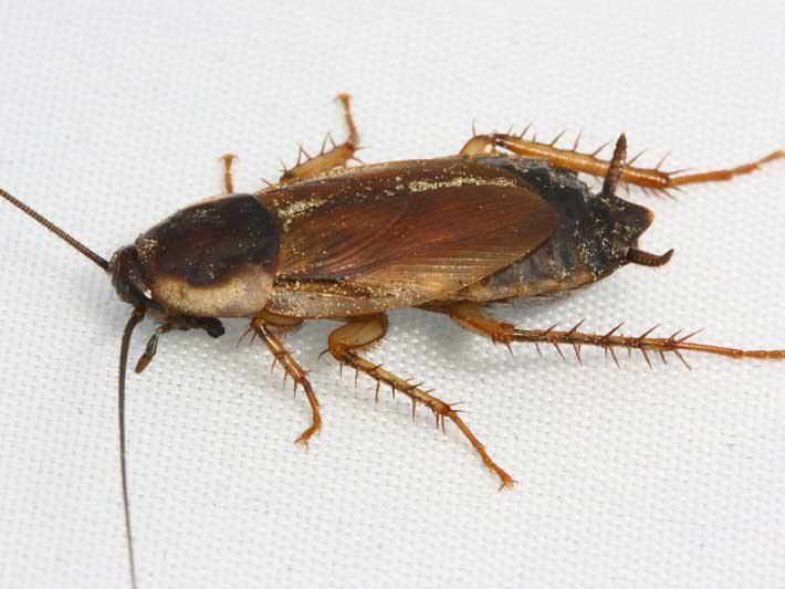 Pennsylvania Cockroach