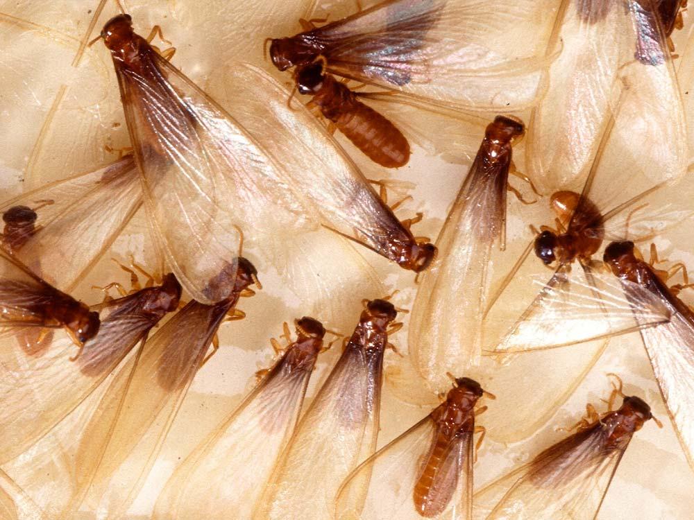 Winged Swarmer Termites