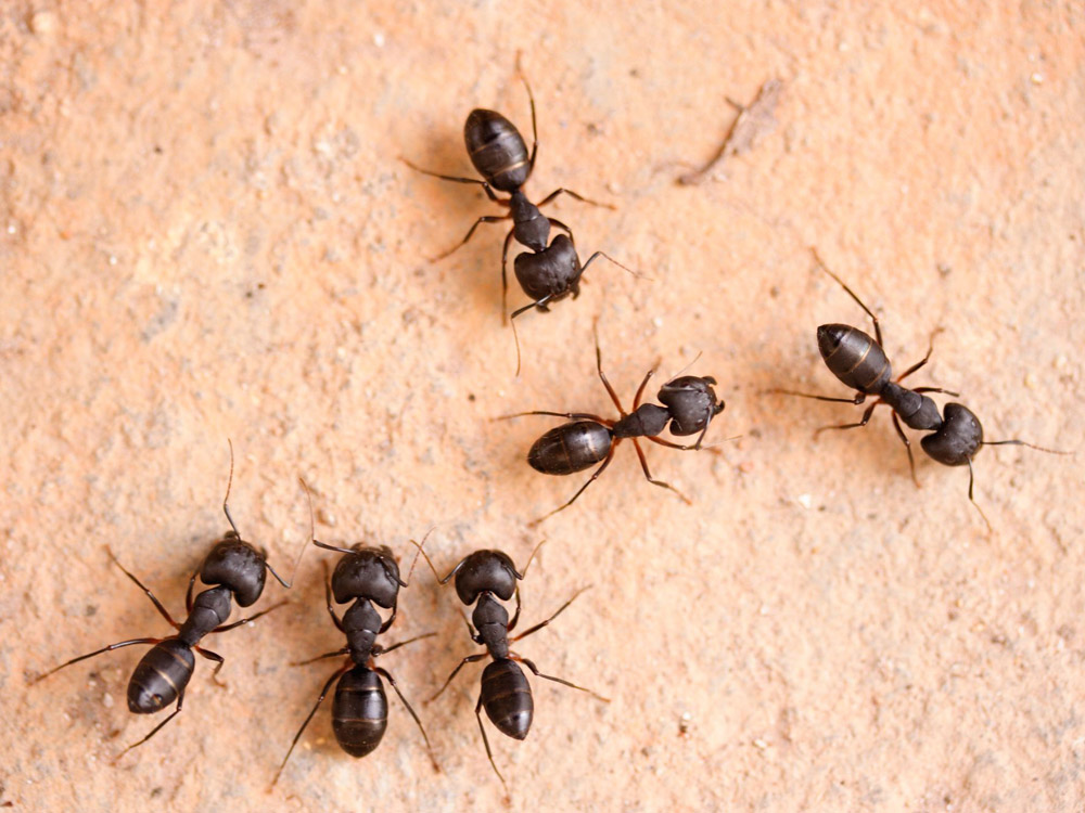 HPC-pest-guide-carpenter-ants.jpg