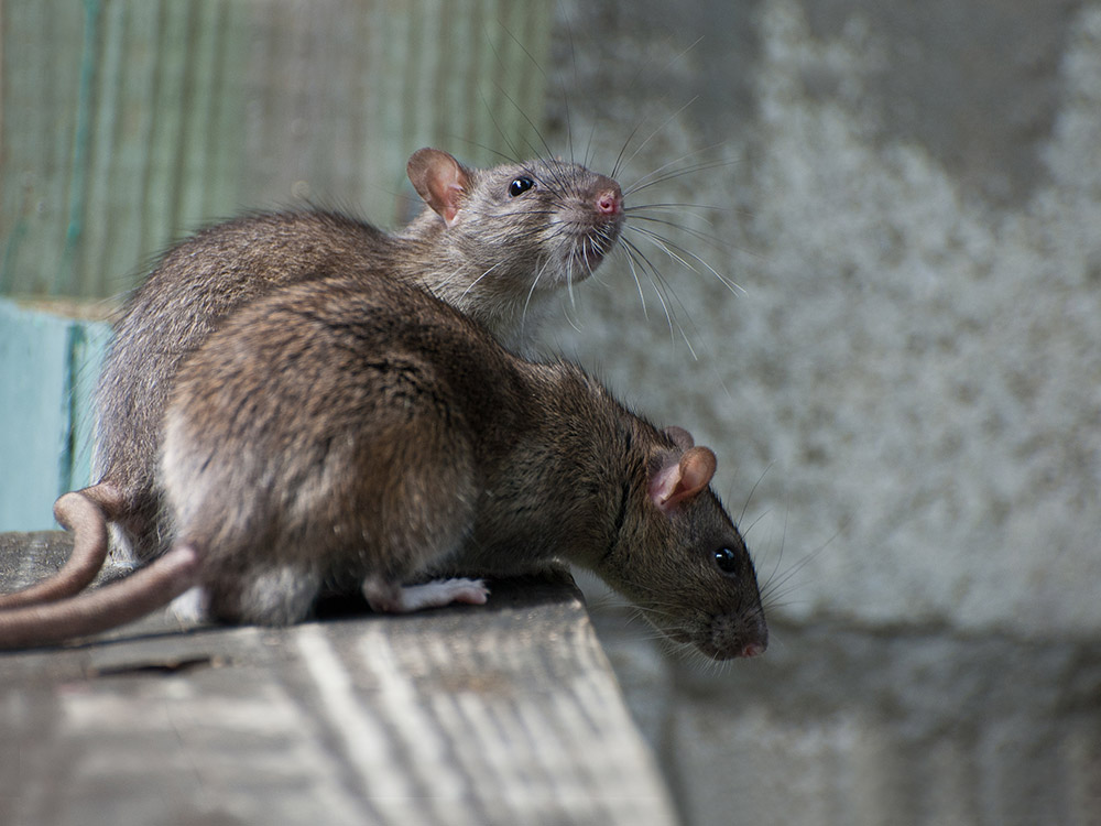 Got Rodents? - Call Hollenbeck Today!845-565-5566