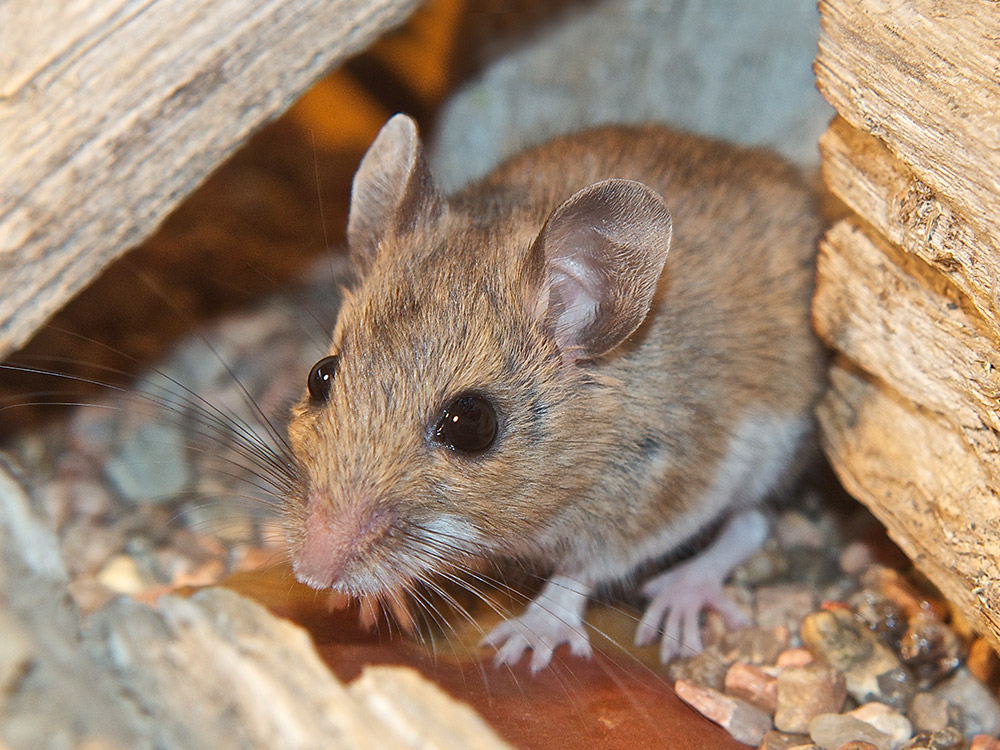 HPC-pest-guide-deer-mouse.jpg