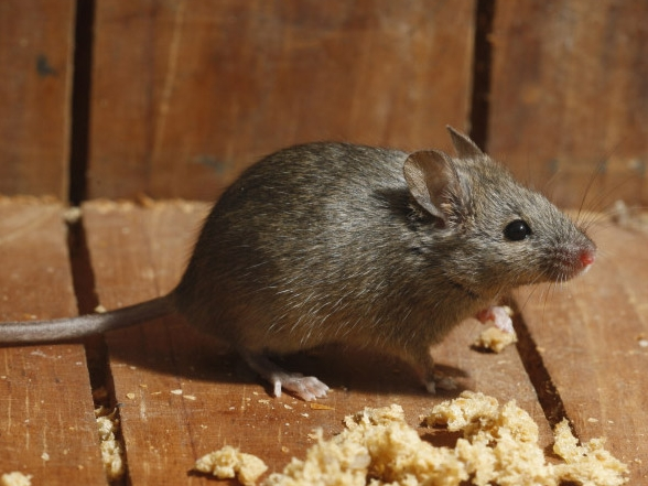 HPC-pest-guide-house-mouse.jpg