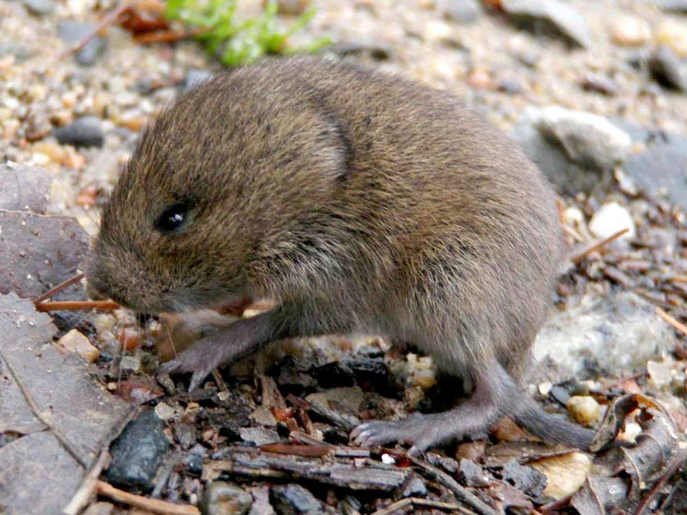 HPC-pest-guide-metal-vole.jpg