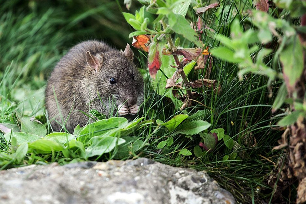 Rodents: What are they? -