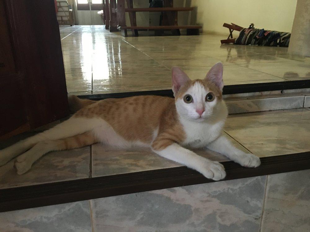 Isn't he cute? That's Mangkone the Lao cat.