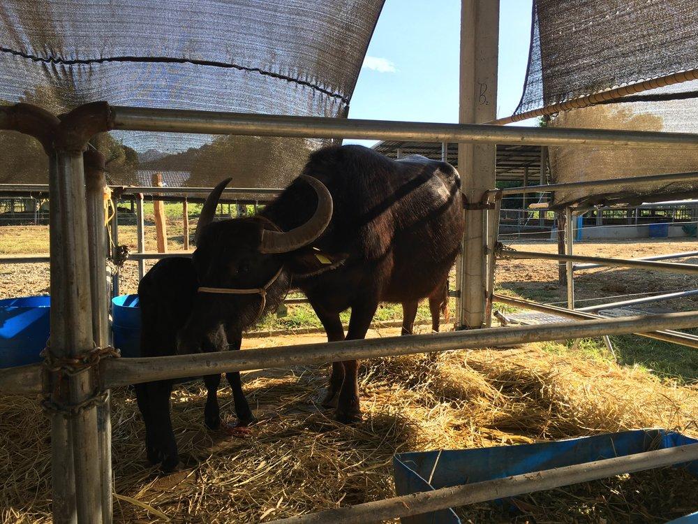 Laos Buffalo Dairy |© Regina Beach