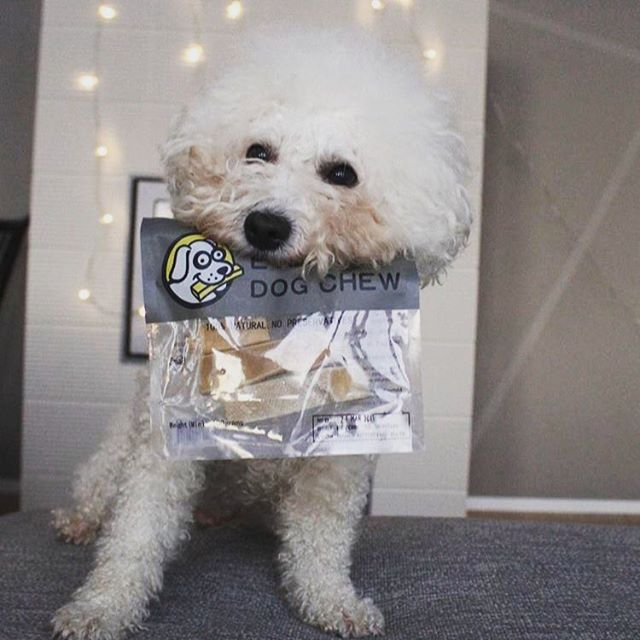 Check out @nelle_bichonfrise and her #EverestSmile ! This was her first #everestdogchew. Welcome to the #EverestPack 🐶 #naturaltreatsmadesimple 🐾 ————————————————————————— Our products are available online! Follow the link in bio! #dogsoftoronto #doglovers #cute #dogsofinstagram #everestdogchew #organic #naturalchew #naturaltreat #naturalchewsfordogs #love #dogmom #dogdad #pawrents #ilovedogs #doglover