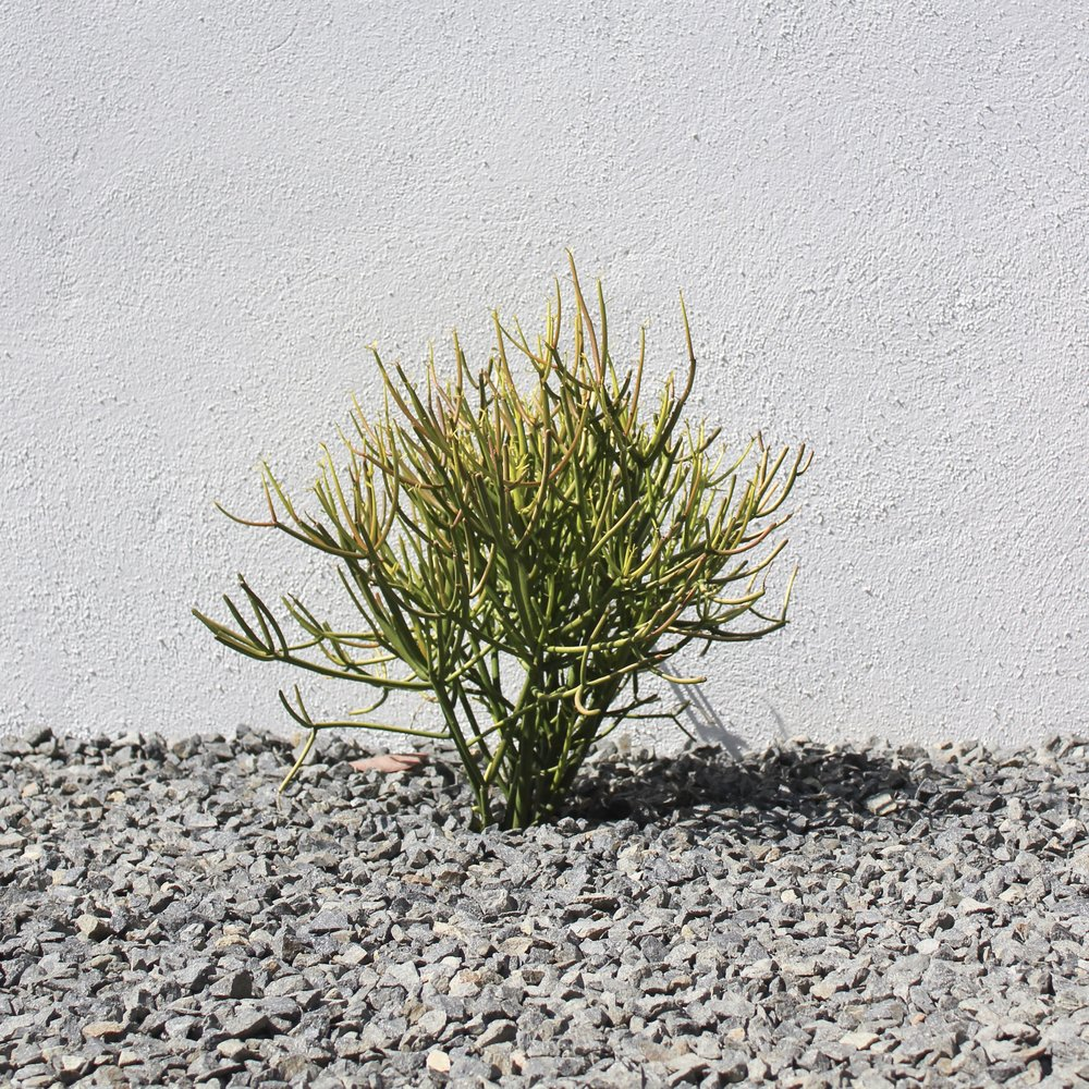 Fire Stick Succulent in Gravel
