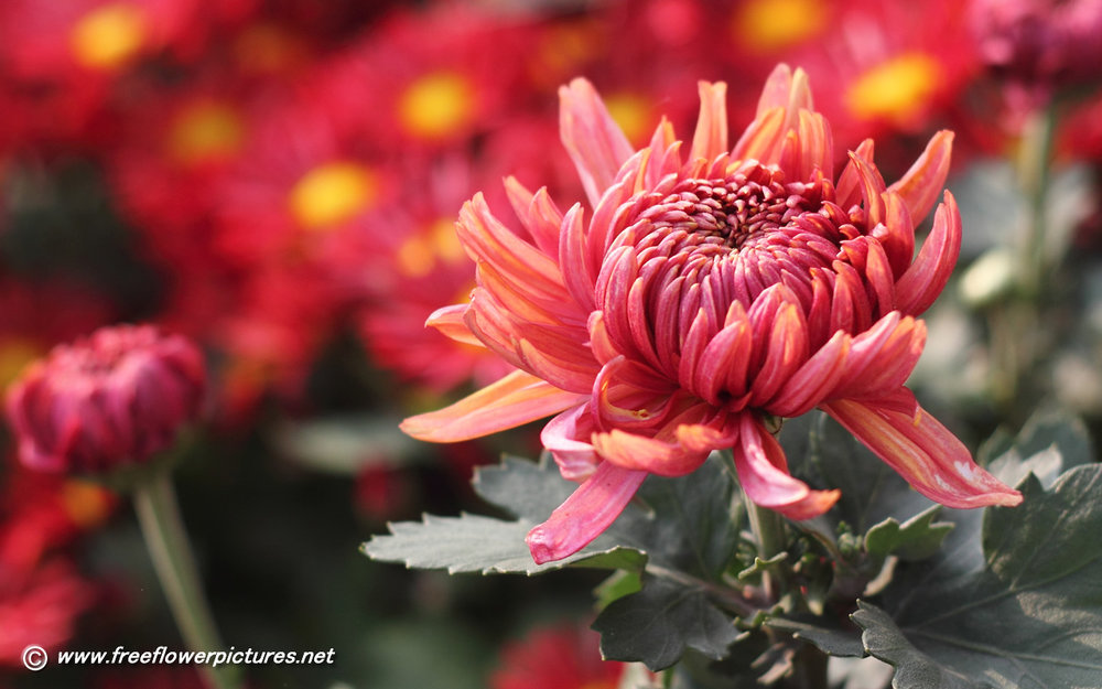 red-chrysanthemum.jpg