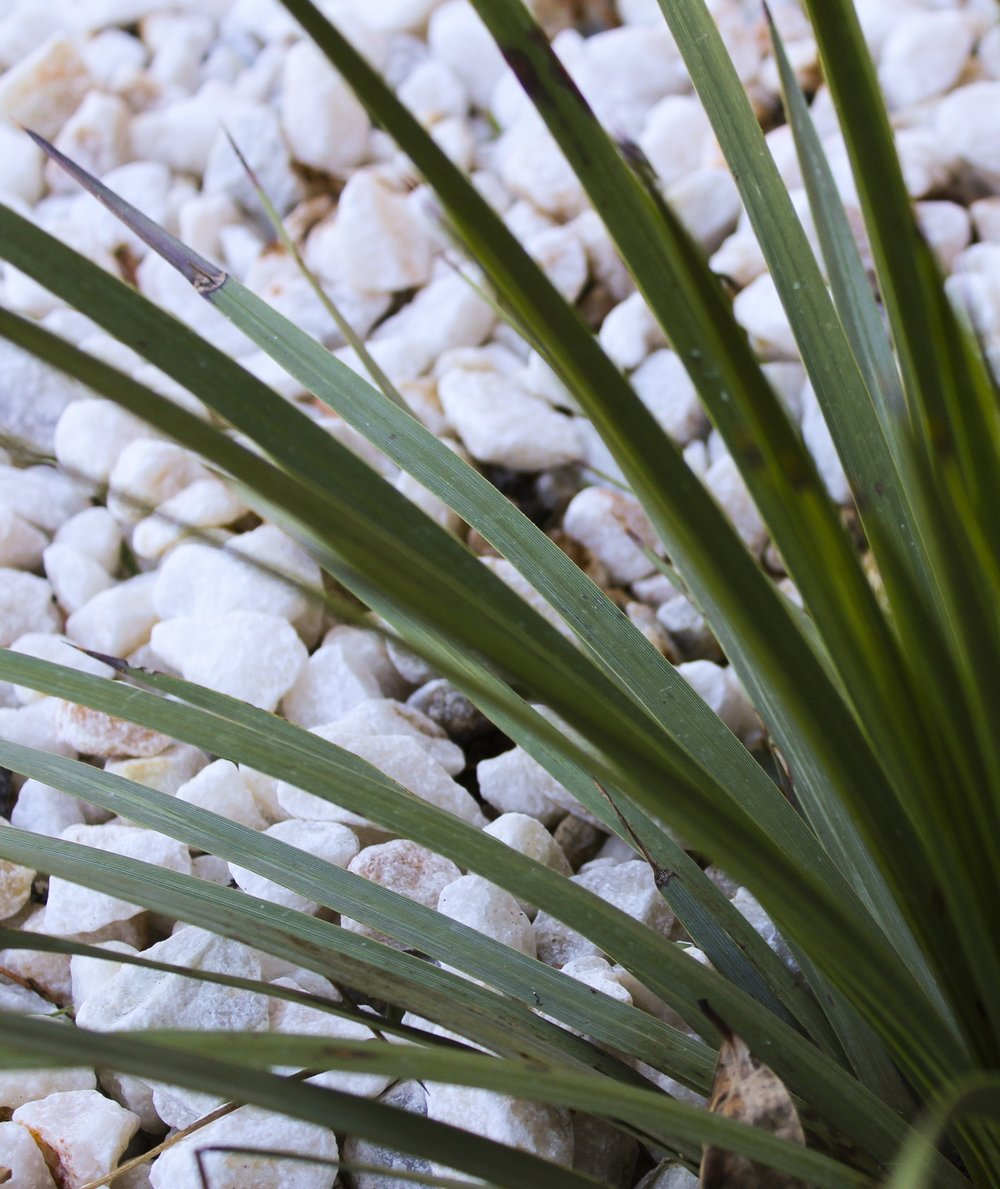 Arctic white stones and yucca plants