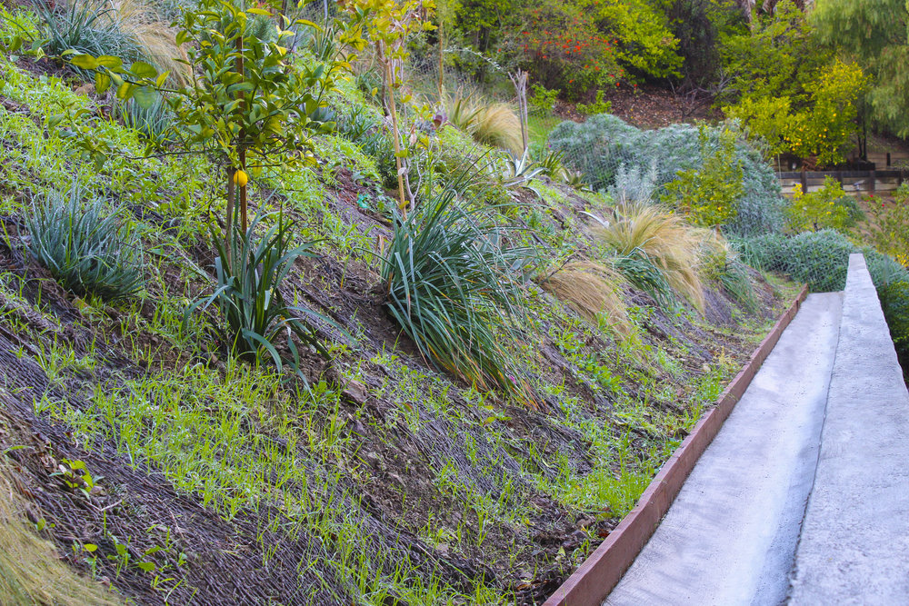 These healthy plantings are enjoying the rainy season as they take root in this hillside landscape. Many of them will grow to twice their size.