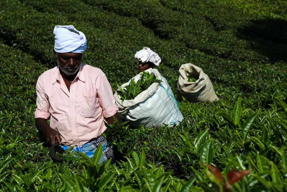 Tea in the Hills