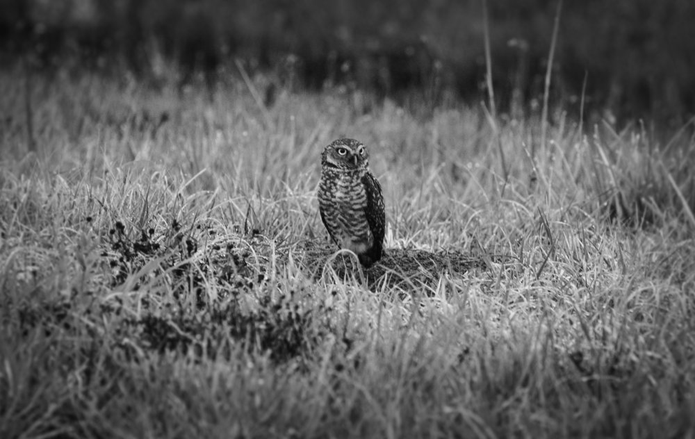Burrowing Owl ( Athene cunicularia)