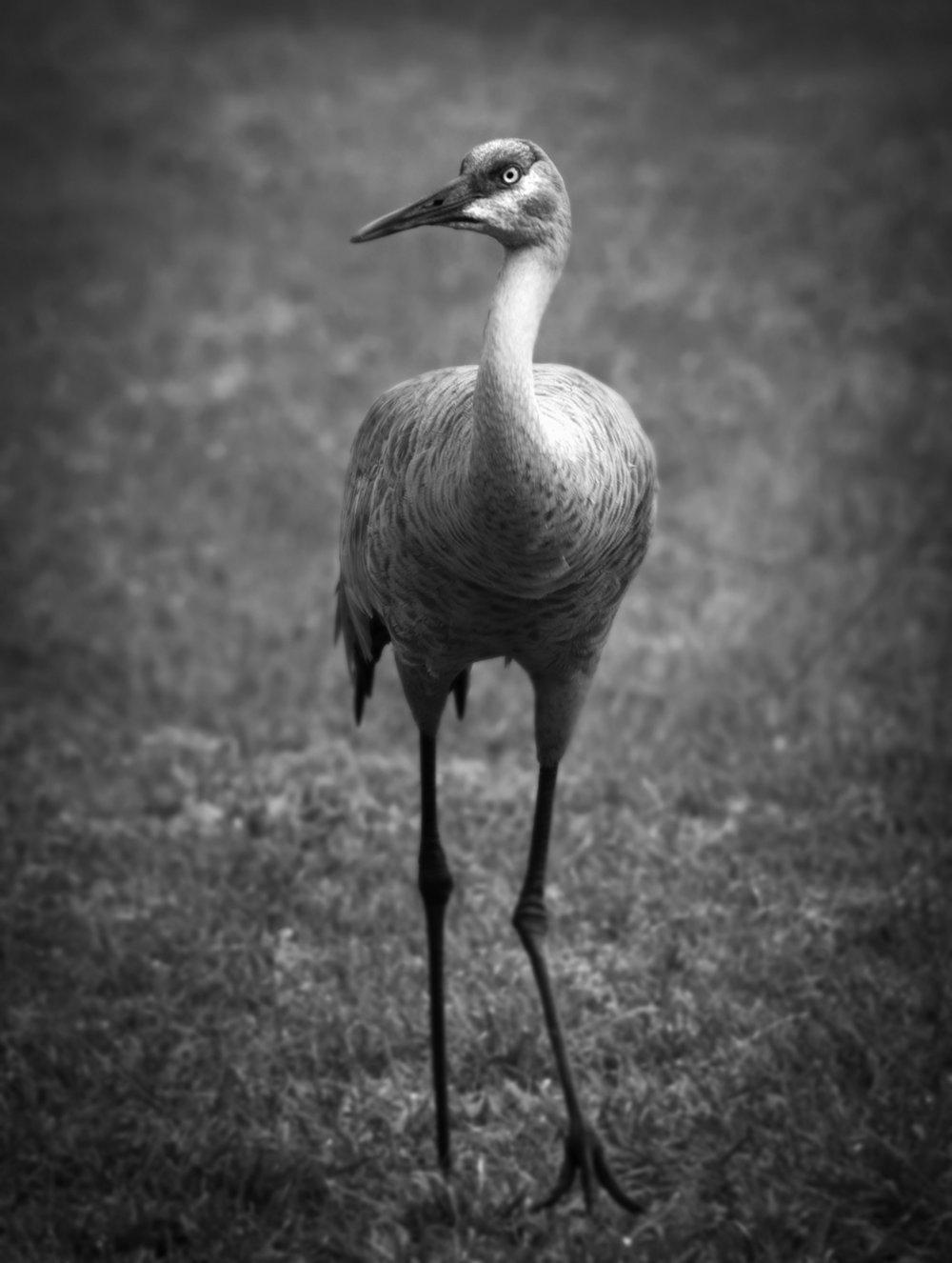 Florida Sandhill Crane ( Grus canadensis pratensis