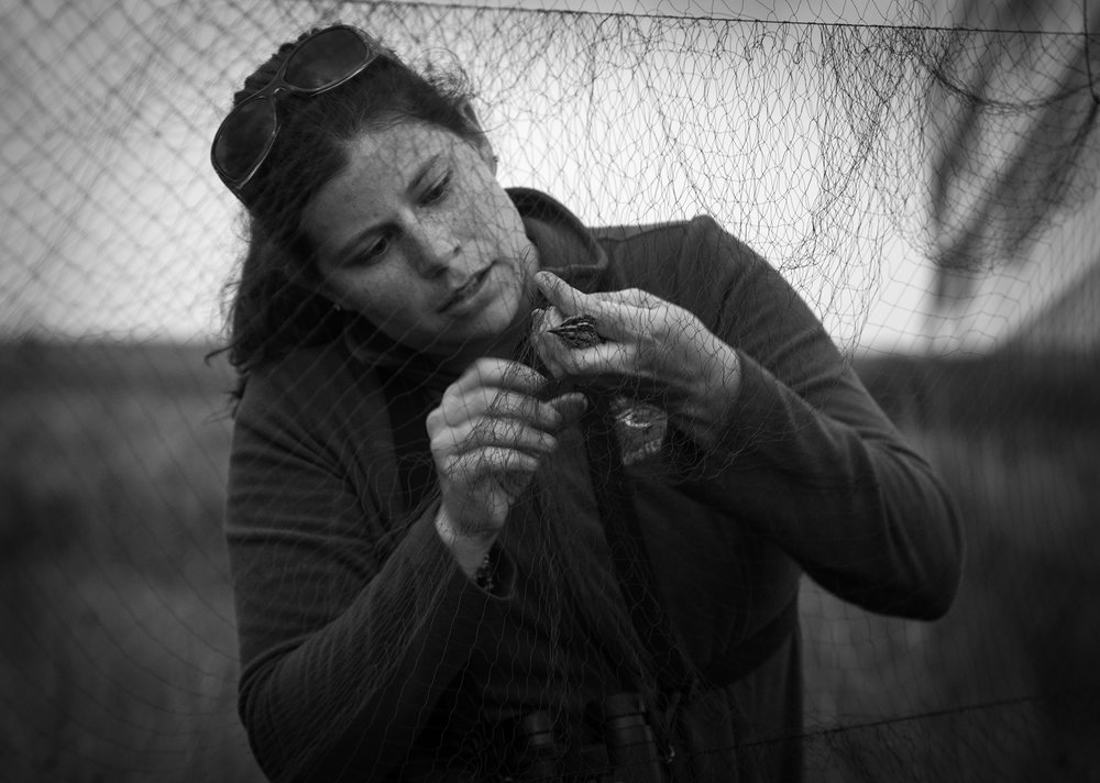Biologist Emily Angell works at freeing the Florida Grasshopper Sparrow from the net.