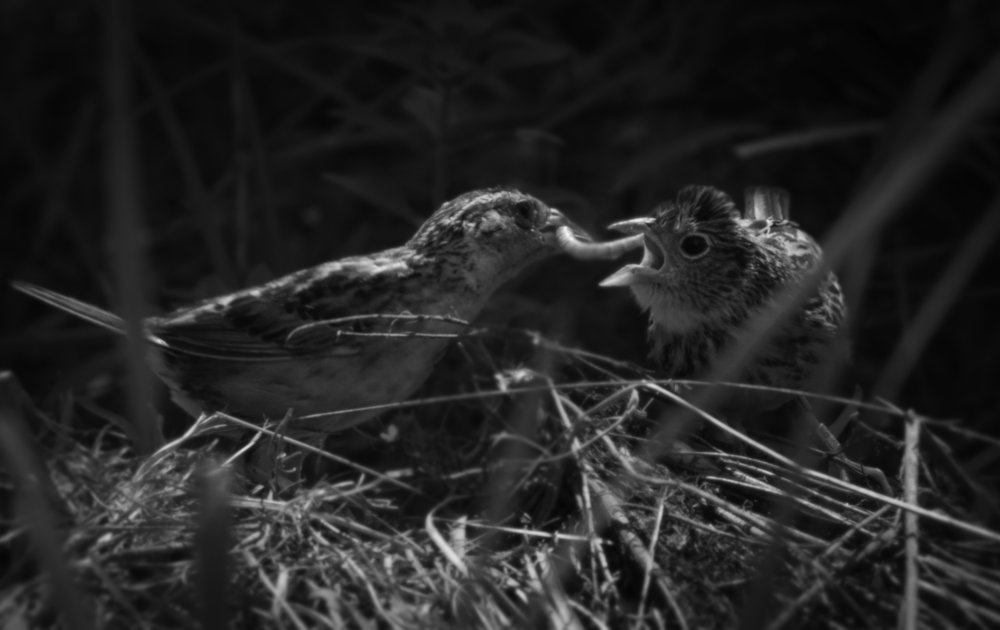 This Florida Grasshopper Sparrow mother is feeding her captive bred chick at White Oak Conservation.